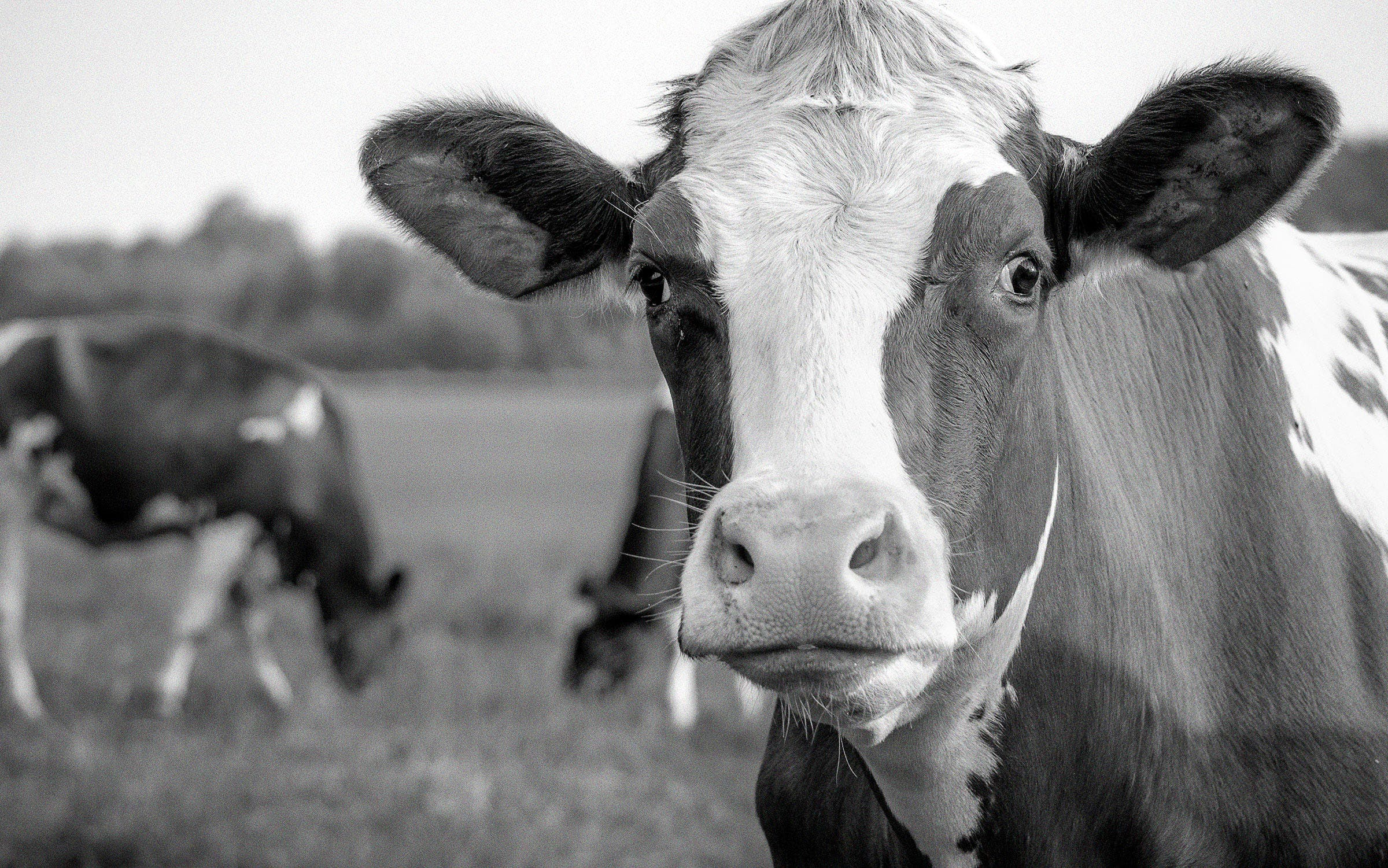 Close-up photo of a cow